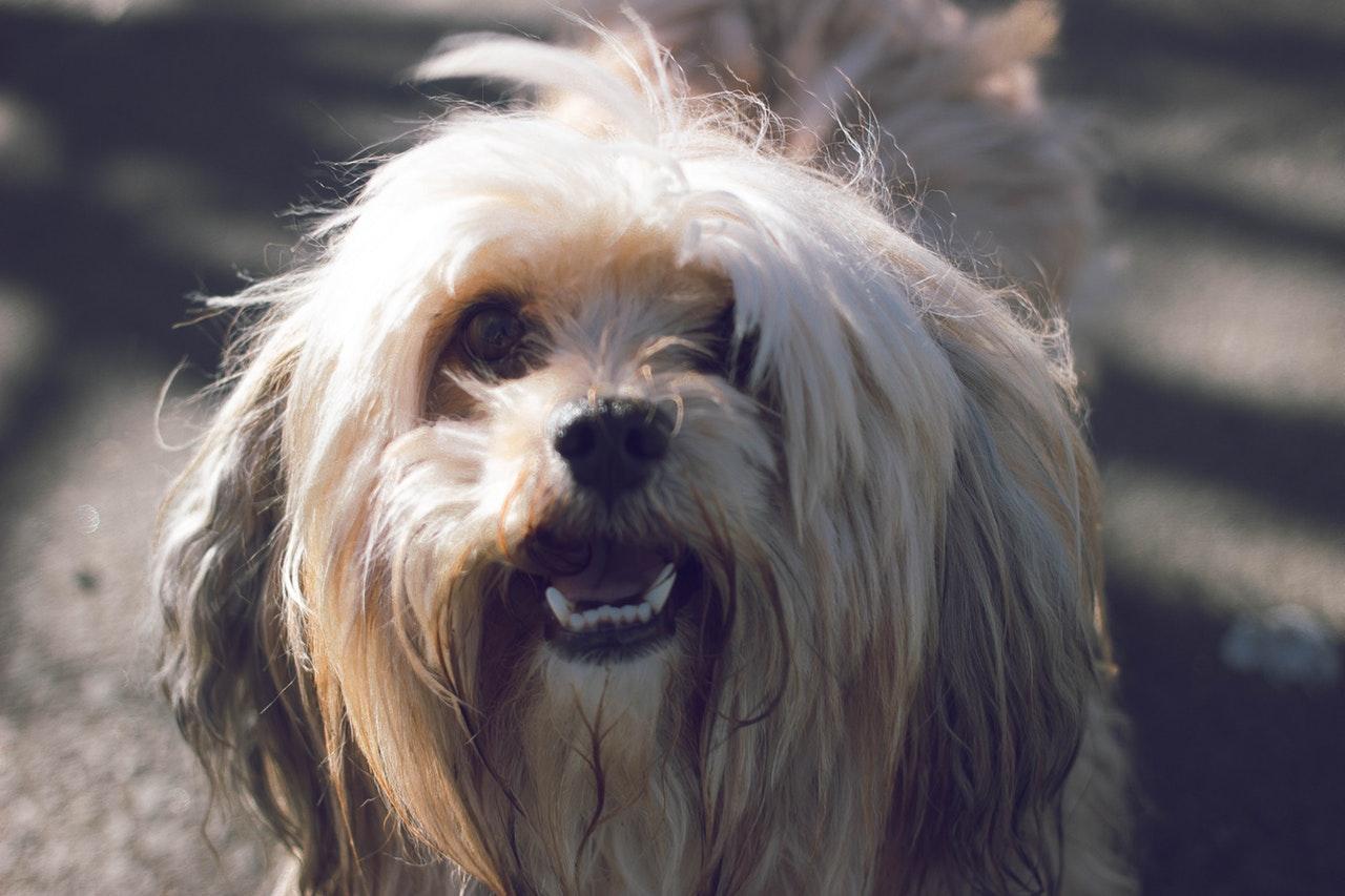 Fördelar med renrasig hund